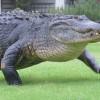 Аллигатор вышел не поле для гольфа