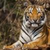 Как выдумаете, полосатая у тигра кожа или нет?