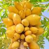Интересные факты о папайе