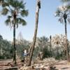 Рискуя жизнью: эти мужчины добывают пальмовый сок, чтобы заработать на хлеб