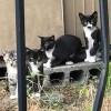 Кот кота или мини-я: необычный окрас японского котенка