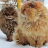 Женщина из Барнаула разводит сибирских котов и они восхитительны