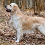 Лучшие породы собак-психологов