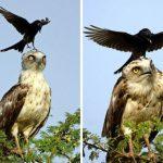 20 доказательств того, что вороны — самые наглые птицы на свете