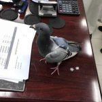 В Кувейте задержан голубь-контрабандист