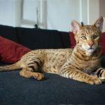 Топ-5 самых крупных пород котов