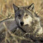 Собаки и волки обладают чувством справедливости – ученые