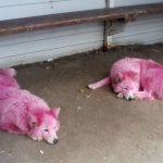 Под Геленджиком спасли розовых собак уличных фотографов