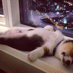 30 фото потрясающих щенков, которые могут уснуть где угодно и как угодно!