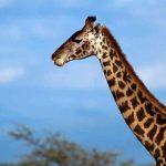 Вот почему жираф имеет столь длинную шею