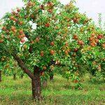 Яблоки являются лучшим лекарством для памяти