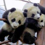 Миру остро не хватает панд! Пушистики, способные растрогать кого угодно