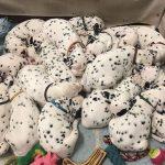В Австралии далматин повторил мировой рекорд по количеству рожденных щенков