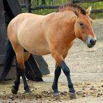 Пржевальский: как азартные игры помогли найти лошадь