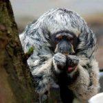 80-летние поиски редкой обезьяны увенчались успехом