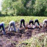 Израильская картошка намного превзошла белорусскую