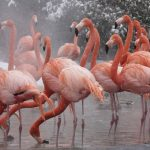 Почему фламинго розовые?