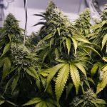 Паре из Флориды пришли 30 килограмм марихуаны в бонус к заказу